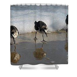 Sandpipers Feeding Shower Curtain by Dan Friend
