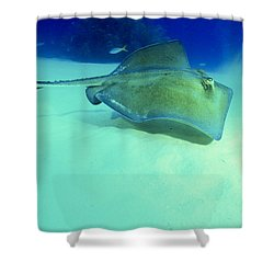 Southern Sting Ray Shower Curtain by Gregory Ochocki and Photo Researchers