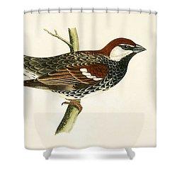 Spanish Sparrow Shower Curtain by English School