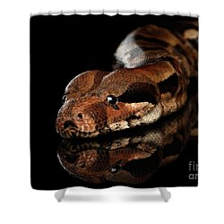 The Boa Constrictors, Isolated On Black Background Shower Curtain by Sergey Taran
