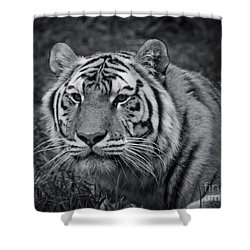 Tiger In The Grass Shower Curtain by Darcy Michaelchuk