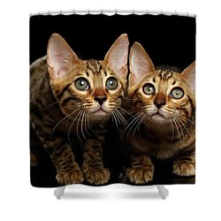 Two Bengal Kitty Looking In Camera On Black Shower Curtain by Sergey Taran