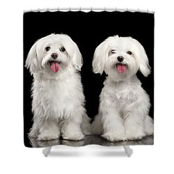 Two Happy White Maltese Dogs Sitting, Looking In Camera Isolated Shower Curtain by Sergey Taran