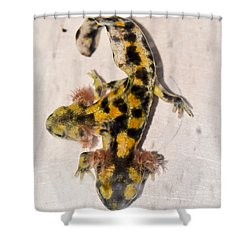 Two-headed Near Eastern Fire Salamande Shower Curtain by Shay Levy