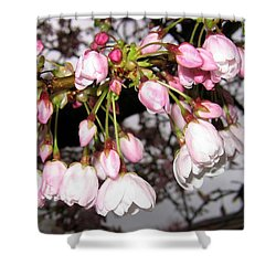 Vancouver Cherry Blossoms Shower Curtain by Will Borden