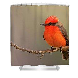 Vermilion Flycatcher Shower Curtain by Ram Vasudev