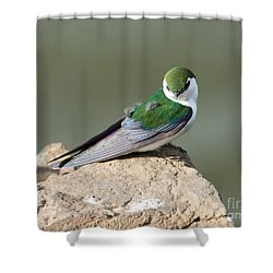 Violet-green Swallow Shower Curtain by Mike Dawson