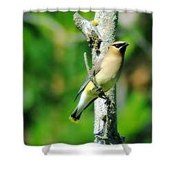 Wax Wing In A Small Branch  Shower Curtain by Jeff Swan