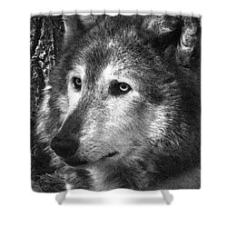 What Is A Wolf Thinking Shower Curtain by Karol Livote