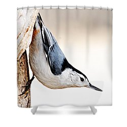 White-breasted Nuthatch Shower Curtain by Larry Ricker
