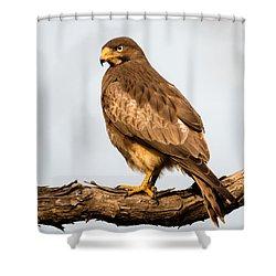 White-eyed Buzzard Butastur Teesa Shower Curtain by Panoramic Images