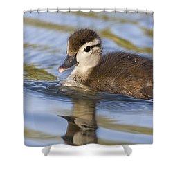 Wood Duck Duckling Swimming Santa Cruz Shower Curtain by Sebastian Kennerknecht
