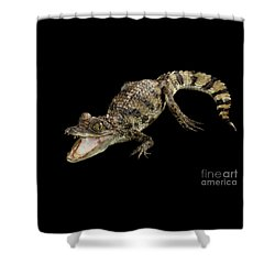 Young Cayman Crocodile, Reptile With Opened Mouth And Waved Tail Isolated On Black Background In Top Shower Curtain by Sergey Taran