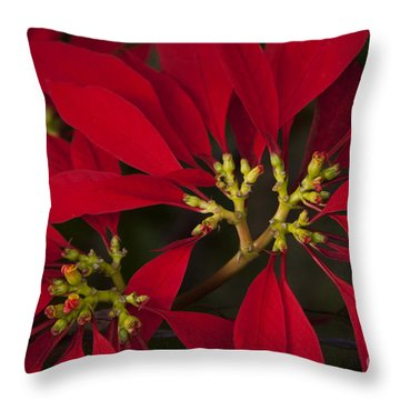 Poinsettia  - Euphorbia Pulcherrima Throw Pillow by Sharon Mau