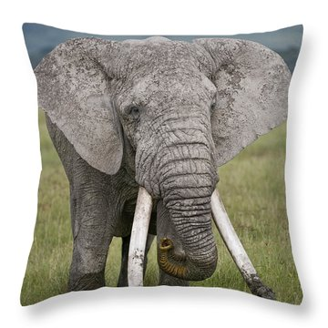 African Elephant Loxodonta Africana Throw Pillow by Panoramic Images