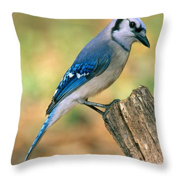 Blue Jay Throw Pillow by Millard H. Sharp