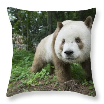 Giant Panda Brown Morph China Throw Pillow by Katherine Feng