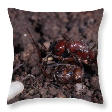 Ant Queen Fight Throw Pillow by Gregory G. Dimijian, M.D.