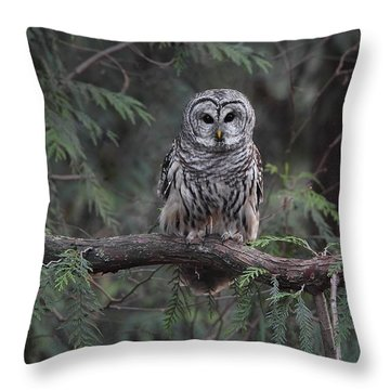 Barred Owl Stare Down Throw Pillow by Daniel Behm