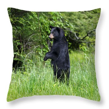 Black Bear Standing Upright Looking Throw Pillow by Dan Friend