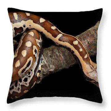 Blood Python Python Brongersmai Throw Pillow by David Kenny