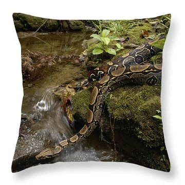 Boa Constrictor Crossing Stream Throw Pillow by Pete Oxford