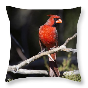 Male Northern Cardinal Throw Pillow by Gary Langley
