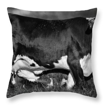 Momma Cow Throw Pillow by Patrick M Lynch