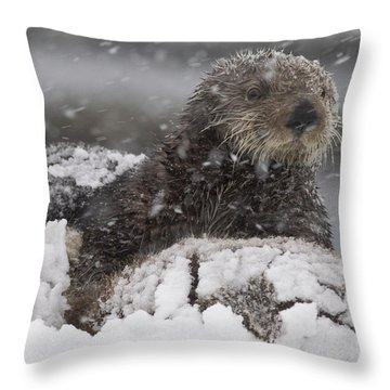 Snow Covered Sea Otter And Pup Photograph By Milo Burcham