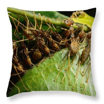 Weaver Ant Group Binding Leaves Throw Pillow by Mark Moffett