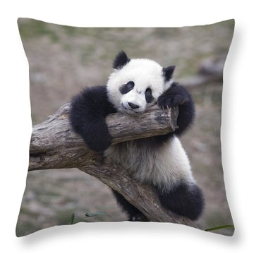 A Baby Panda Plays On A Branch Throw Pillow by Taylor S. Kennedy