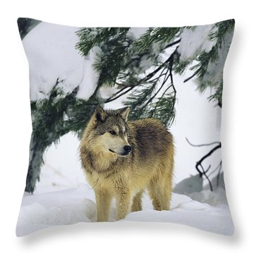 A Gray Wolf Stands Under Throw Pillow by Norbert Rosing