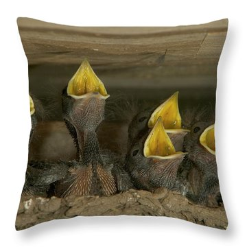 Barn Swallow Hirundo Rustica Chicks Throw Pillow by Cyril Ruoso