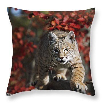 Bobcat Felis Rufus Walks Along Branch Throw Pillow by David Ponton