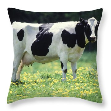 Cow In Pasture Throw Pillow by Science Source