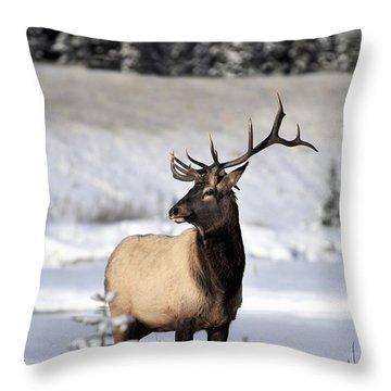 Elk Cervus Canadensis Bull Elk During Throw Pillow by Richard Wear