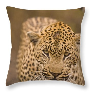 Leopard Panthera Pardus, Arathusa Throw Pillow by Stuart Westmorland