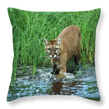 Mountain Lion Puma Concolor Wading Throw Pillow by Konrad Wothe