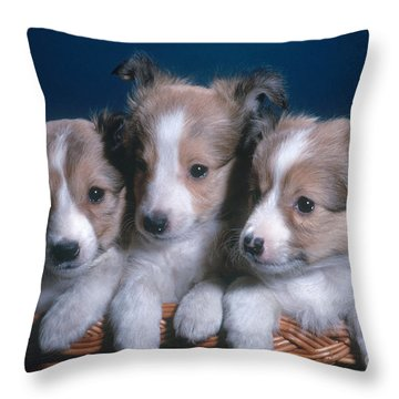 Sheltie Puppies Throw Pillow by Photo Researchers, Inc.