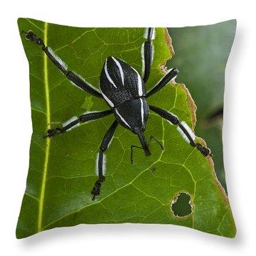 Spider Weevil Papua New Guinea Throw Pillow by Piotr Naskrecki