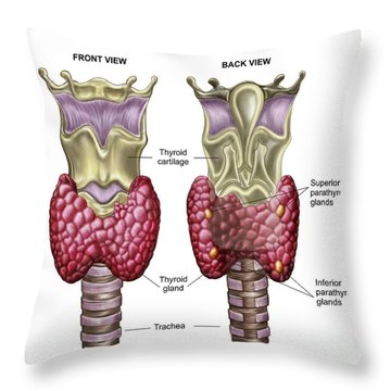 Anatomy Of Thyroid Gland With Larynx & Throw Pillow by Stocktrek Images