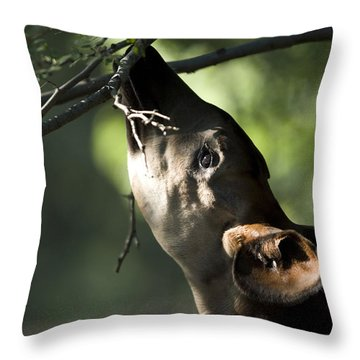 An Okapi Reaches For A Little Snack Throw Pillow by Joel Sartore