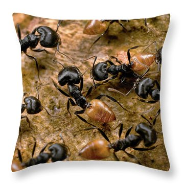 Ant Crematogaster Sp Group Throw Pillow by Mark Moffett