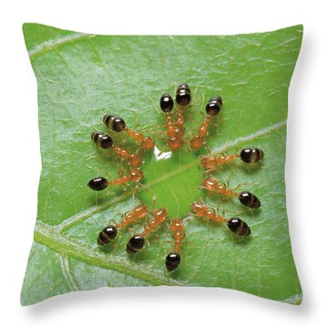 Ant Monomorium Intrudens Group Drinking Throw Pillow by Takashi Shinkai