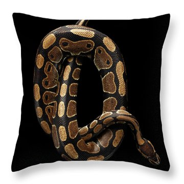 Ball Or Royal Python Snake On Isolated Black Background Throw Pillow by Sergey Taran