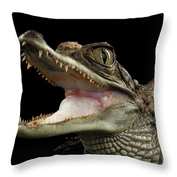 Closeup Young Cayman Crocodile, Reptile With Opened Mouth Isolated On Black Background Throw Pillow by Sergey Taran