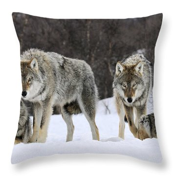 Gray Wolf Canis Lupus Group, Norway Throw Pillow by Jasper Doest