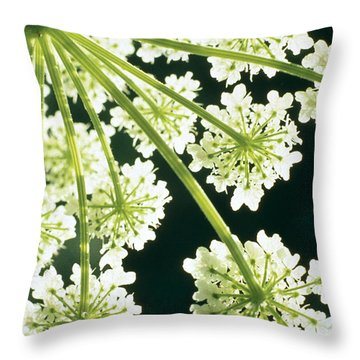 Himalayan Hogweed Cowparsnip Throw Pillow by American School