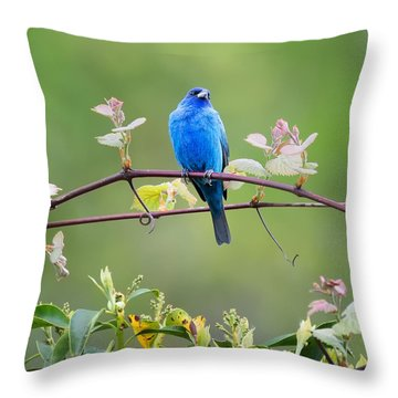 Indigo Bunting Perched Square Throw Pillow by Bill Wakeley