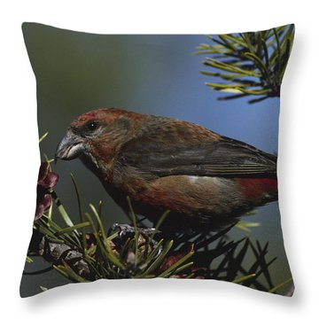 Red Crossbill Feeds On Pine Cone Seeds Throw Pillow by Mark Wallner